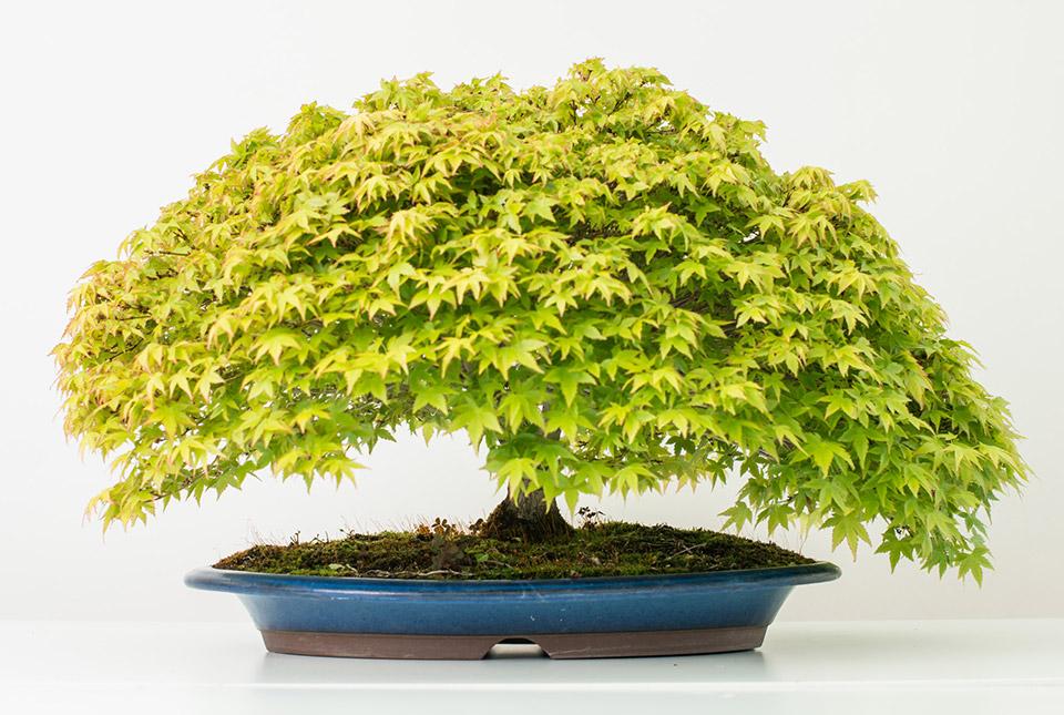 bonsai-colmenar-05