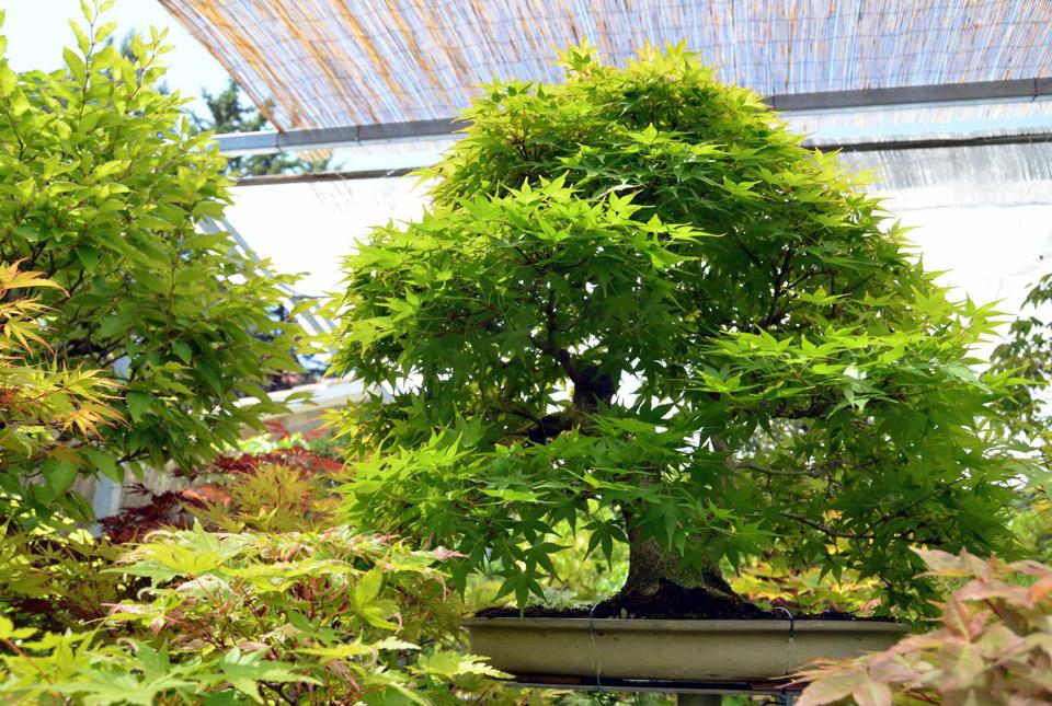 bonsai-colmenar-12
